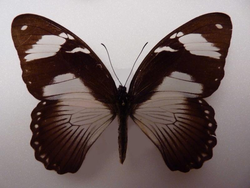 Lepidos RCA et Madagascar P1030211