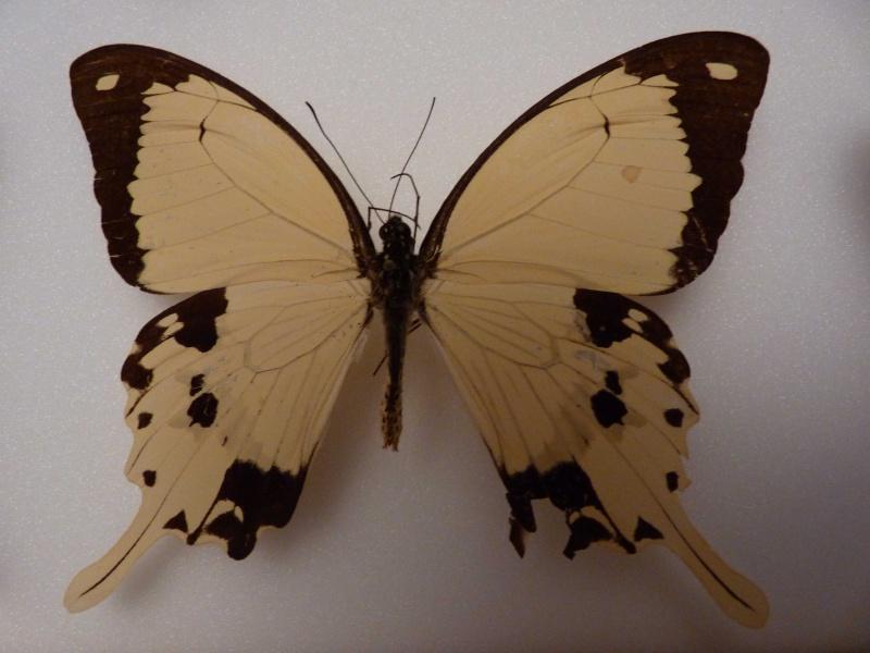 Lepidos RCA et Madagascar P1030213