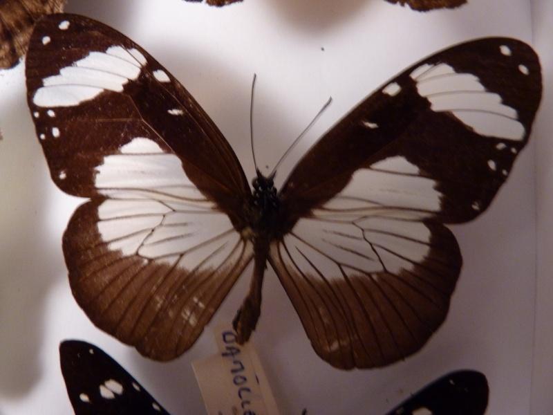 Lepidos RCA et Madagascar P1030214