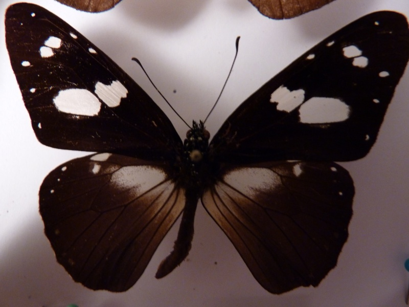 Lepidos RCA et Madagascar P1030215