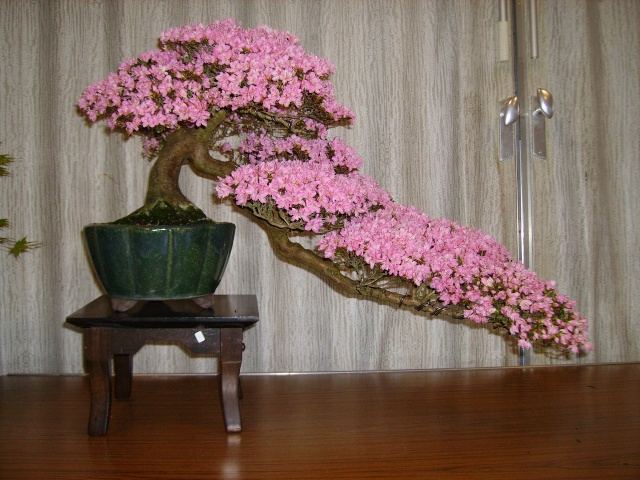 Better late than never, Kinsai azalea in bloom Pict1113