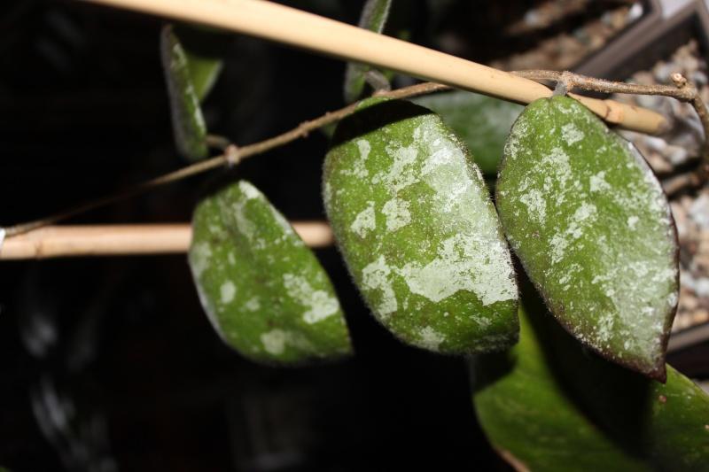 Hoya caudata Img_3011