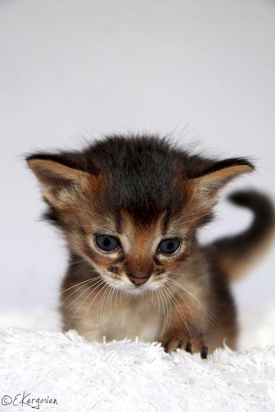 Chat abyssin trouvé à l'AX Img_2811