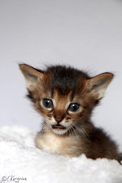 Chat abyssin trouvé à l'AX Img_2812