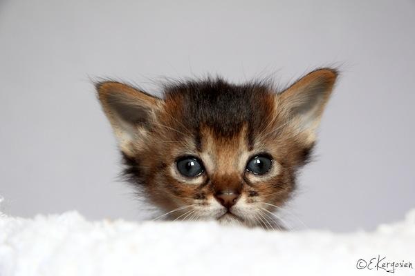 Chat abyssin trouvé à l'AX Img_2813