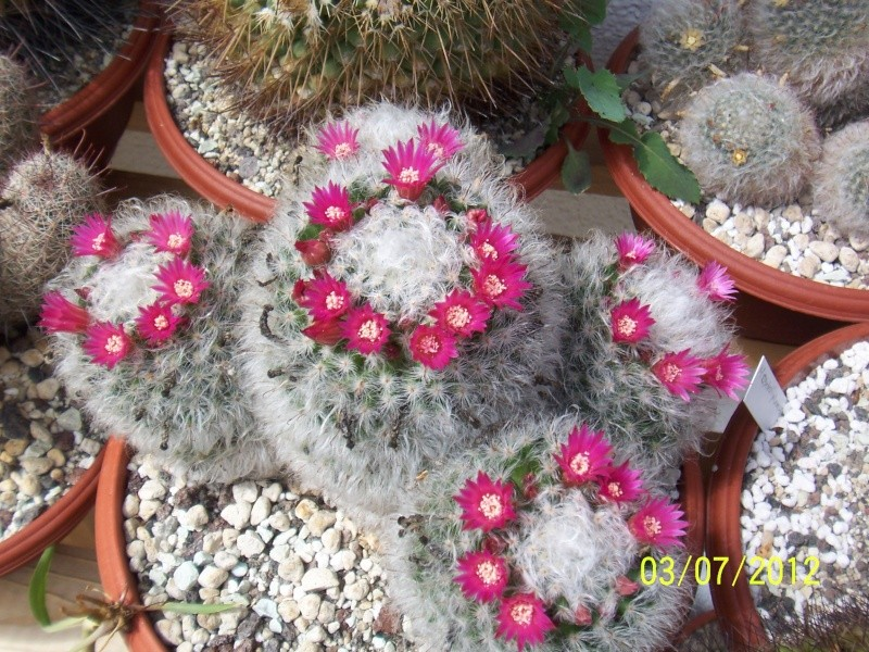 Cacti and Sukkulent in Köln, every day new flowers in the greenhouse Bild6359