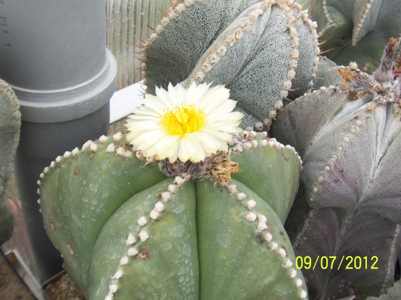 Cacti and Sukkulent in Köln, every day new flowers in the greenhouse Part 4 Bild6717