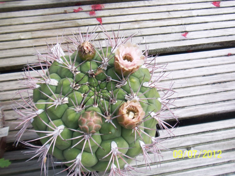 Cacti and Sukkulent in Köln, every day new flowers in the greenhouse Part 4 Bild6730