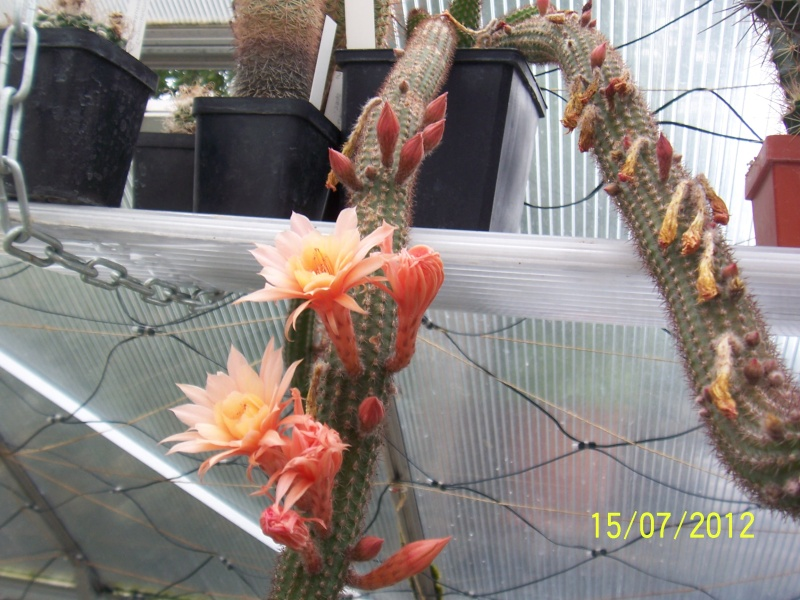 Cacti and Sukkulent in Köln, every day new flowers in the greenhouse Part 7 Bild6784