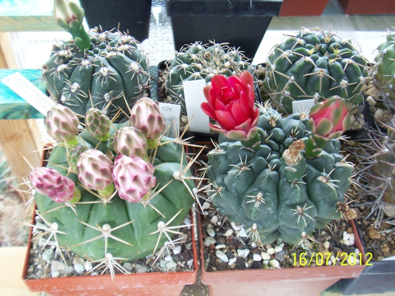 Cacti and Sukkulent in Köln, every day new flowers in the greenhouse Part 8 Bild6829