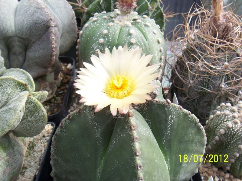 Cacti and Sukkulent in Köln, every day new flowers in the greenhouse Part 9 Bild6862