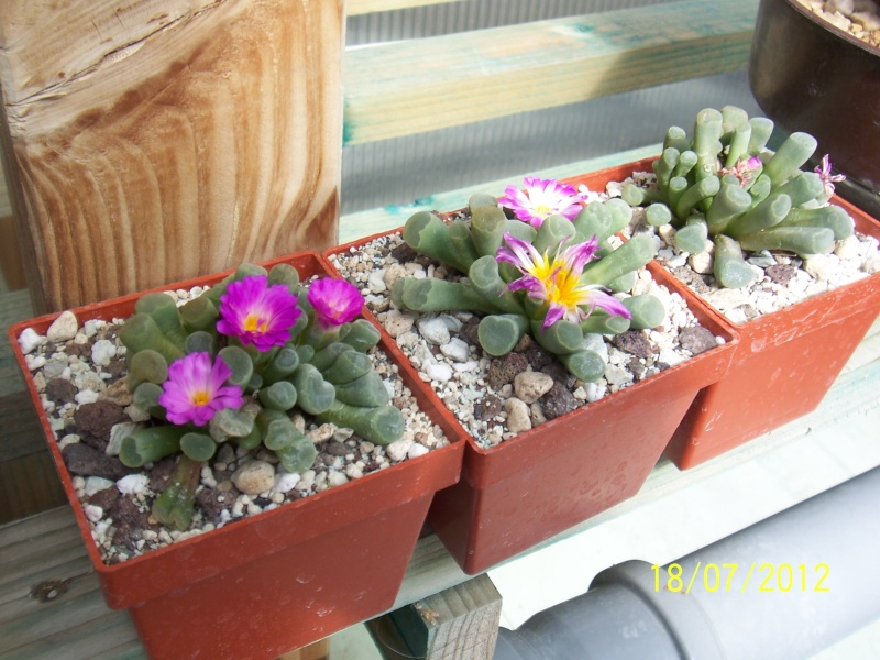 Cacti and Sukkulent in Köln, every day new flowers in the greenhouse Part 9 Bild6872
