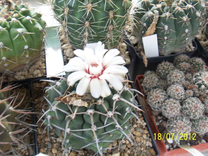 Cacti and Sukkulent in Köln, every day new flowers in the greenhouse Part 10  Bild6879