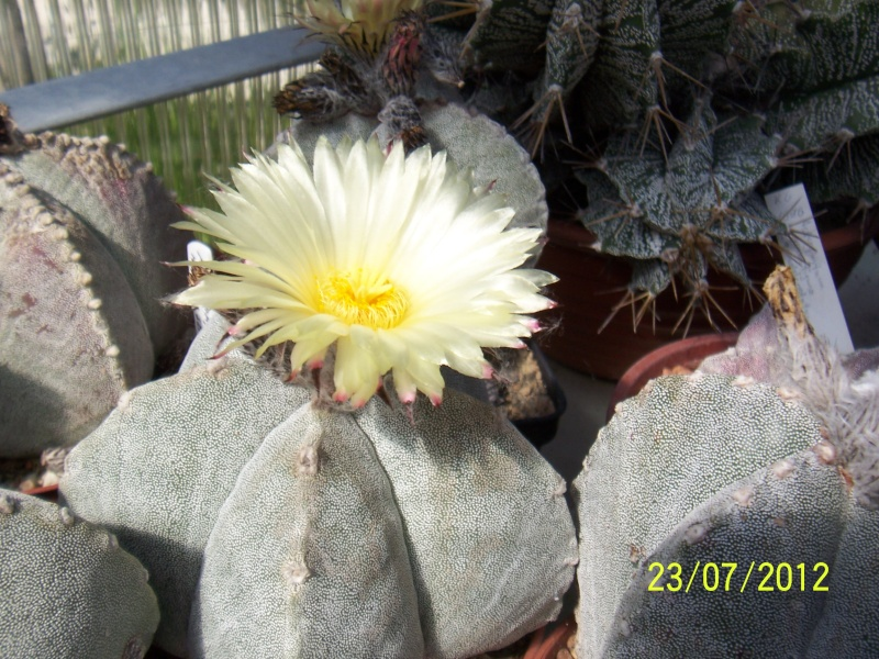 Cacti and Sukkulent in Köln, every day new flowers in the greenhouse Part 12 & 1/2   Bild7011