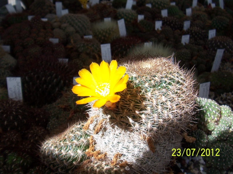 Cacti and Sukkulent in Köln, every day new flowers in the greenhouse Part 12 & 1/2   Bild7022