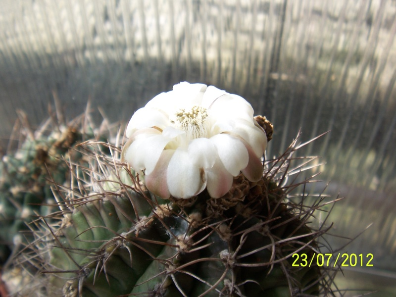 Cacti and Sukkulent in Köln, every day new flowers in the greenhouse Part 12 & 1/2   Bild7028