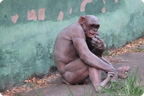 Бонобо, шимпанзе, человек.  Dnn_dd10
