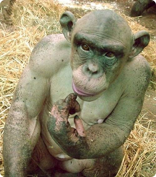 Бонобо, шимпанзе, человек.  Dnn_dd14