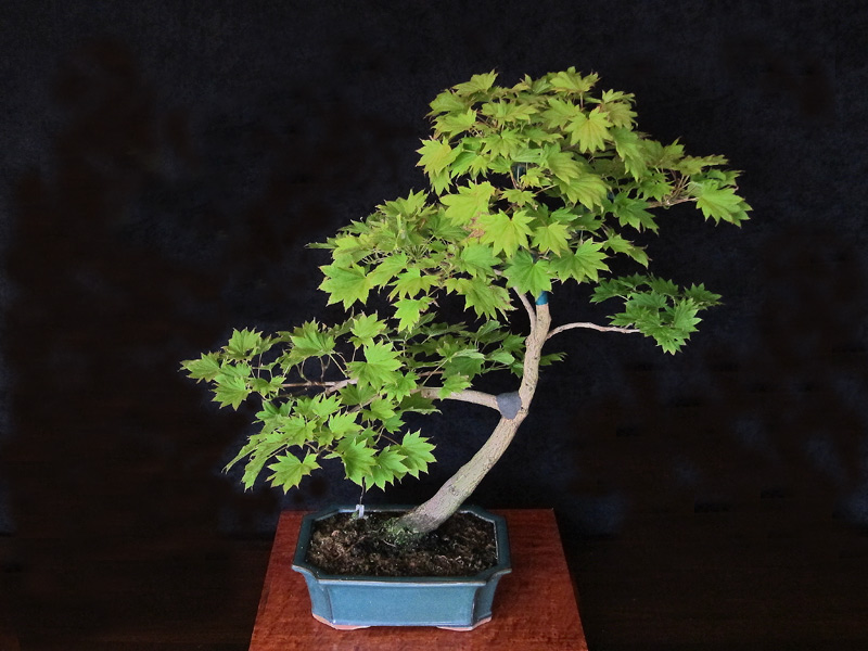 Videos of a Maple being styled by William N. Valavanis using a Pine bonsai styling technique Bonsai14