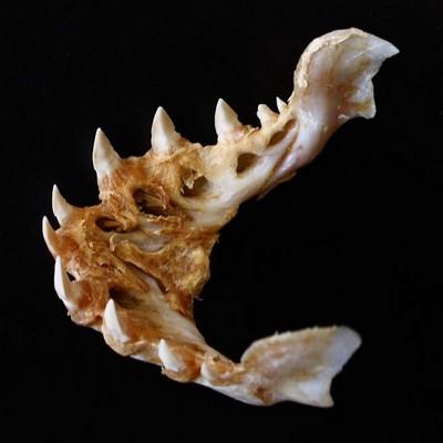 Hydrocynus goliath ouTigerfish 11851612
