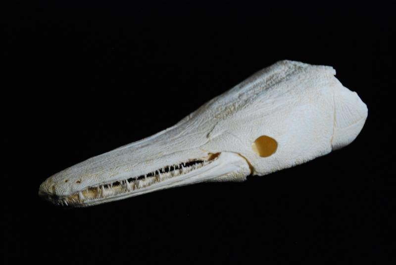 ALLIGATOR GAR  Fish-210