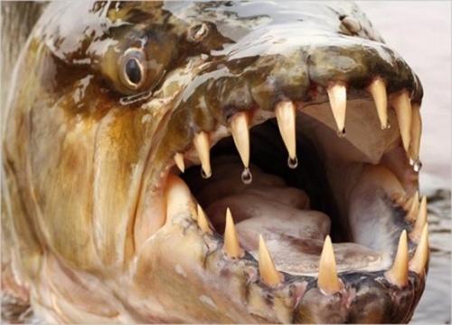Hydrocynus goliath ouTigerfish Hydroc12