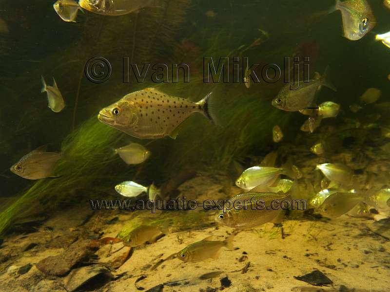 Quelques Serrasalmus en photos & vidéos (IVAN DALMAR MIKOLJI) Img_2210