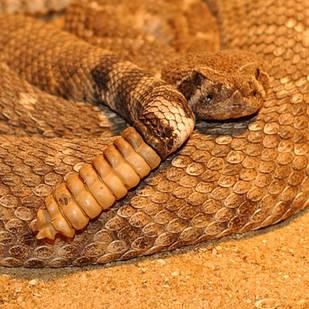 Les morsures de serpents dans le monde. Rtemag13
