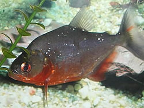 piranha - LE SERRASALMUS SANCHEZI (piranha rouge ruby) Sanche10