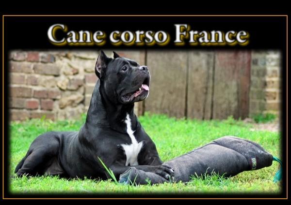 Cane corso France