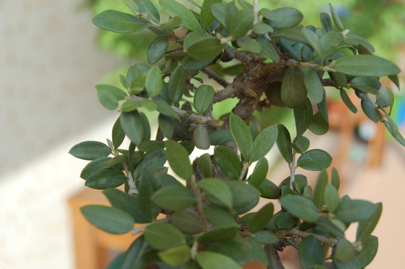 piccolo olivo dalle foglie ...sbiadite Dsc_1310