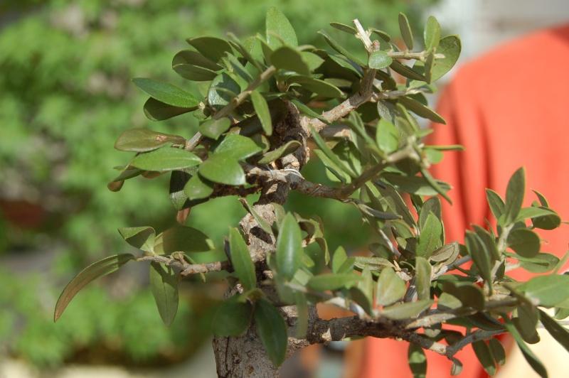 piccolo olivo dalle foglie ...sbiadite Dsc_1311