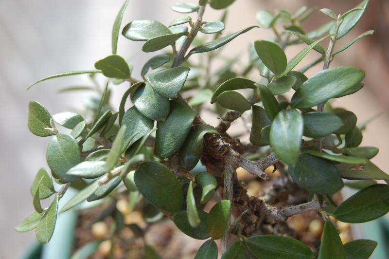 piccolo olivo dalle foglie ...sbiadite Dsc_1312