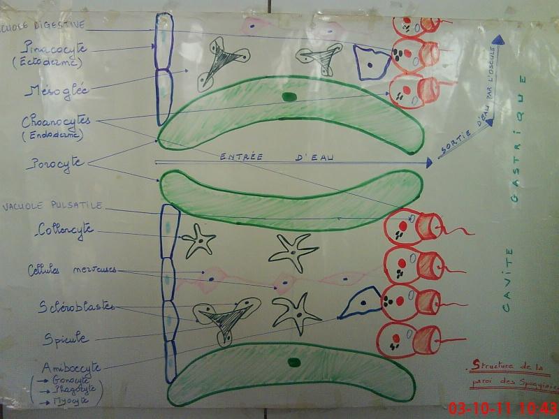 zoologie- TPn°: 2  Phylum des Spongiaires Dsc02413
