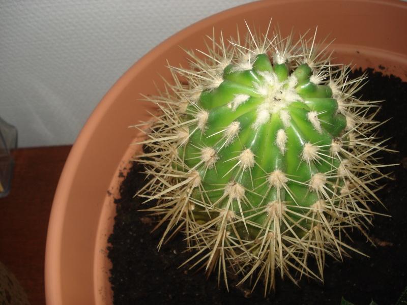 Mini Cactus à identifier Cactus10