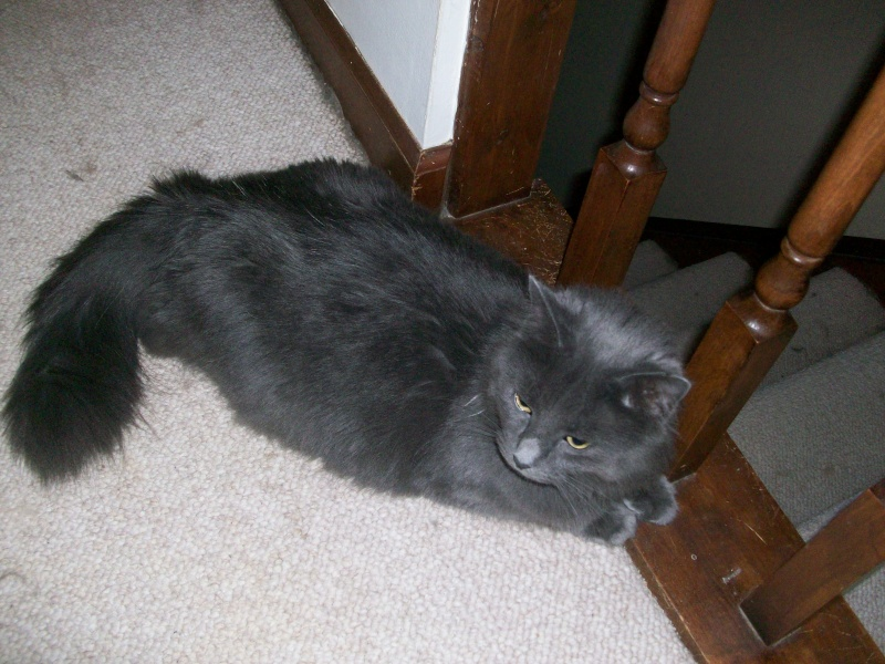 Me and my supposed Nebelung, Cricket! 01911