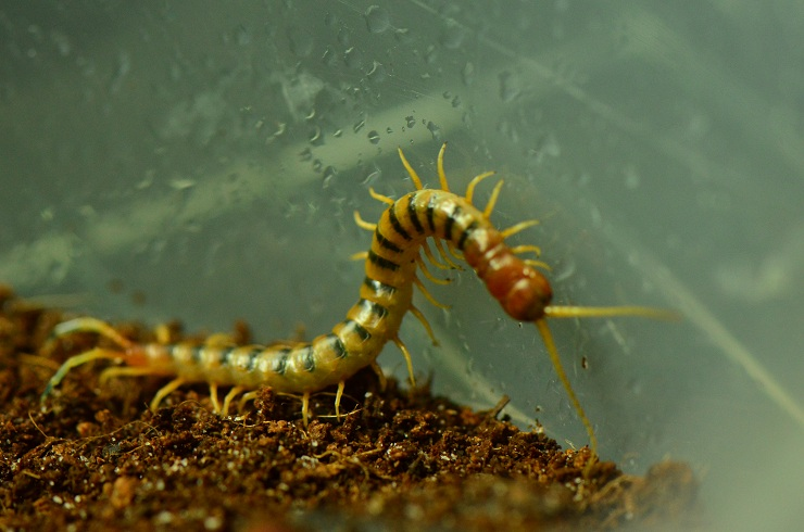 Pictures of my Myriapods and other arthropods 006_510