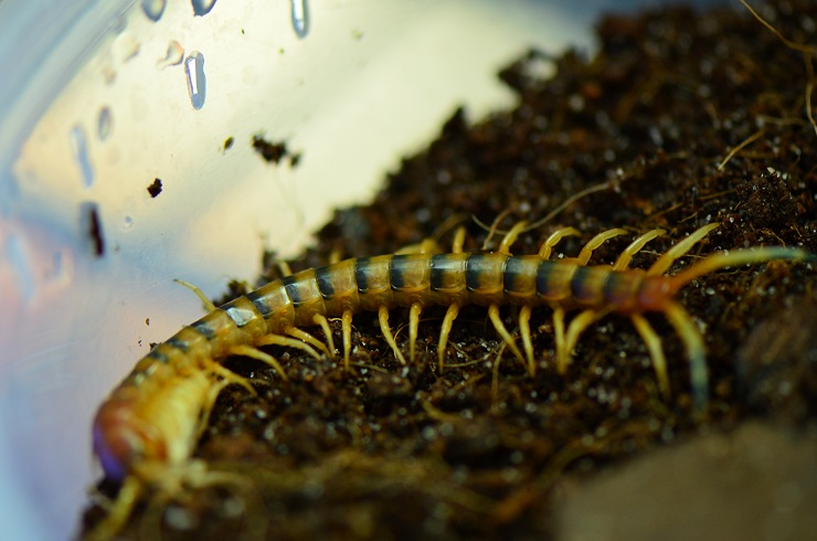 Pictures of my Myriapods and other arthropods 01212