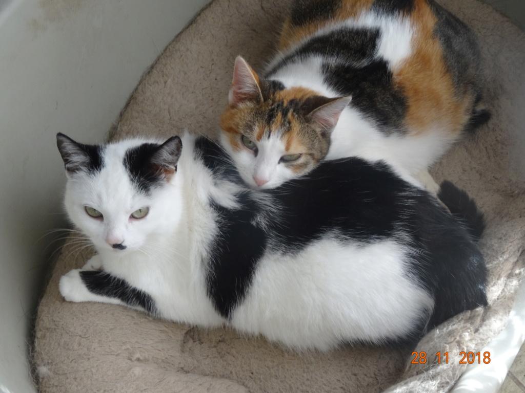 KITTY, Chatte, née  2017 (ORASTIE) Très gentille chatte blessée - en FALD chez TANIA (depart03) 00212