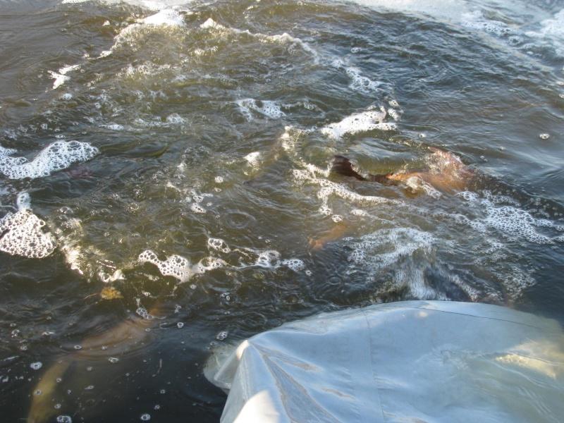 Rempoissonnement dans l'étang de Bilzen. 01410