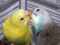 Les comportements naturels des perruches Becqua12