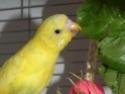 Petite perruche pas très intéressée ... Topaz_26