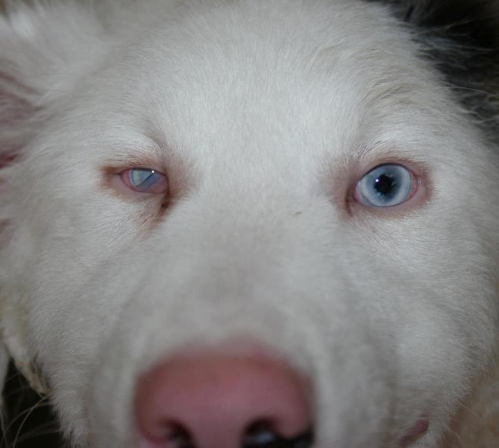 Alaska et Dexter - berger australien - male - 5 mois - en FA dpt 44 Yeux_d10