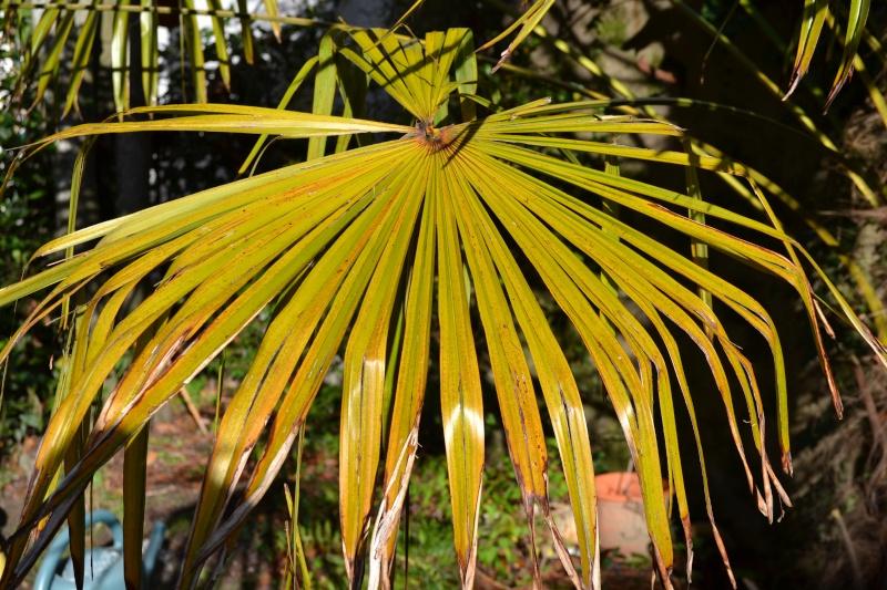 palmier feuilles jaunes