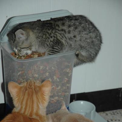 Rosie, chaton tigré, née le 15 aout 2012 27045310