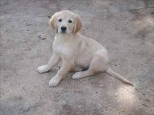Chiot Labrador Blond Et Golden Retriever A Donner Adoptions Nimo