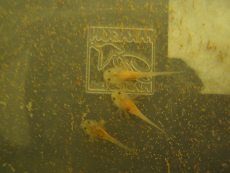 le bac des axolotls 00810