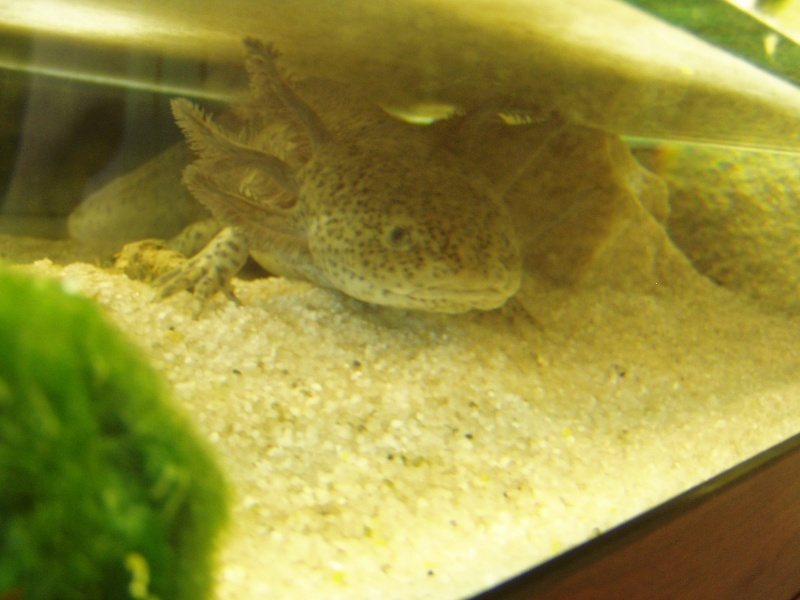 le bac des axolotls 08010