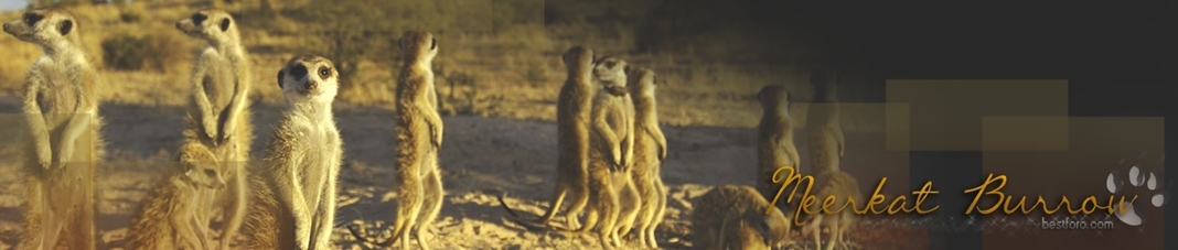 Meerkat Burrow