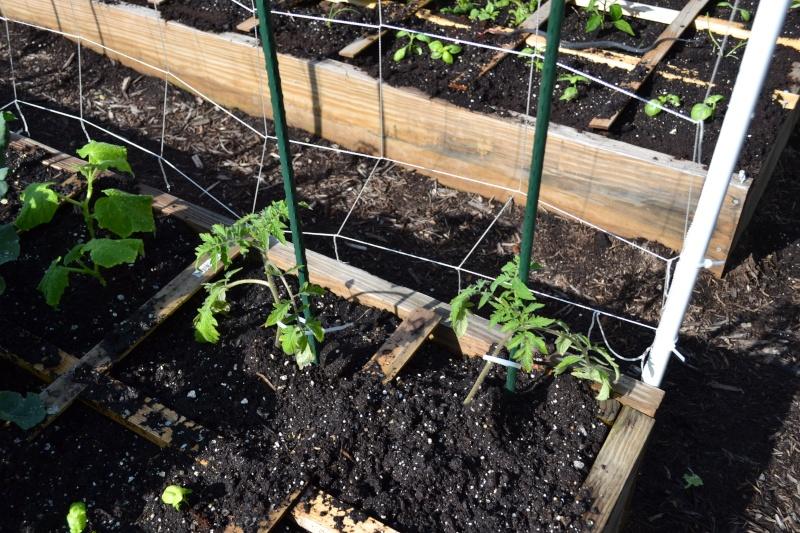 Tomato Plants are Too Small? Dsc_1311